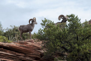 dyr i Zion National Park