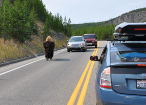 bison i Yellowstone nationalpark